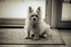 Ruffy (Dotsy McCurly) Tags: ruffy cute dog cairnterrier sepia adobe photoshop nj newjersey nikond850 sigma150600mmf563dgoshsmcontemporary 7dwf