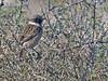 Saxicola rubicola (Tarabilla europea) (24) (eb3alfmiguel) Tags: pájaro aves passeriformes insectívoros turdidos turdidae tarabilla europea saxicola rubicola