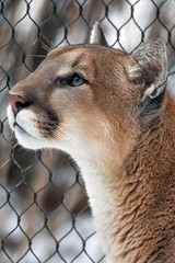 Cougar profile (stephanieswayne1) Tags: endangered portrait profile whiskers nose ears close up looking view side face head eyes fur feline zoo columbus cat big animal wild cougar puma lion mountain