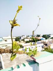 IMG20171209143433 (Phoenix Ramesh) Tags: tree buds roap bokeah sunlight cloudy plant bugs nice good perfect leaves