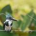 Amazon Kingfisher (f)