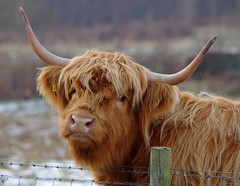sheffield highland cattle in snow 2017 (7) (Simon Dell Photography) Tags: highland cattle snow nature simon dell photography wildlife birds winter scene small cottage borrower house bird table one kind bespoke robin torkshire old english