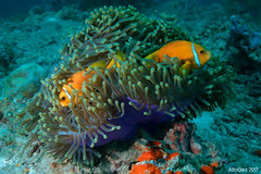 Maldive anemonefish (Maldives) (alfonsator) Tags: coral maldives reef clownfish photosub fish kudagiri anemone