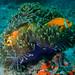 Maldive anemonefish (Maldives)