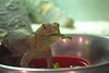 Lunch with a Uromastyx (MTSOfan) Tags: uromastyx lizard spinytailedlizard prehistoric moderndinosaur lvz eating lunch bowl egyptianuromastyx