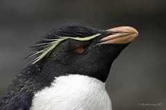 Trio of Falkland Islands' Portraits- Rockhopper Penguin (Chantal Jacques Photography) Tags: trio rockhopperpenguin bokeh wildandfree depthoffield falklandislands