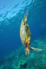 turtle dove (BarryFackler) Tags: seaturtle honu turtle marinereptile shell cmydas hawaiiangreenseaturtle cheloniamydas reptile plastron greenseaturtle coral coralreef vertebrate water westhawaii ecology ecosystem reef tropical undersea underwater island organism outdoor ocean 2017 polynesia pacificocean pacific life konadiving sealife kona konacoast hawaii hawaiiisland hawaiicounty honaunau honaunaubay hawaiidiving hawaiianislands fauna diving diver dive southkona sea scuba seacreature sealifecamera sandwichislands saltwater aquatic animal marine marinebiology marinelife marineecosystem marineecology nature barryfackler barronfackler bigisland bay biology bigislanddiving being creature zoology