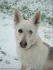 Treffen mit Inuit im Schnee! - Meeting in the snow! (Jorbasa) Tags: jorbasa hessen wetterau germany deutschland tier animal pet hund schnee snow meeting treffen