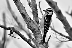 _DSC3527  Female Downy Woodpecker  John Prince Park Lake Worth Florida USA (Nrth Grd Elementary Birder's Club) Tags: woodpecker downy bird birders birding education northgradeelementary nature beauty ericaray lakeworth florida audubon aves pajaros johnprince blackandwhite