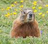 2017070615WY2 Marmot, Beartooth range, Wyoming (tulak56) Tags: wyoming beartooth mountains beartoothhighway highway hwy road marmot