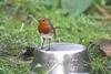 Happy Boxing Day... (law_keven) Tags: robin robinredbreast gardens garden gardenbird catford london england gardenbirds avian wildlife wildlifephotography photography sky bird