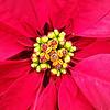 LA STELLA DI NATALE. (FRANCO600D) Tags: stelladinatale ciazio rosso red petali bratteole foglie fioritura poinsettia giallo natale christmas euphorbiapulcherrima pianta smartphone samsung note4 franco600d 546 40 17 bardin bardingarden