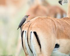 Red-billed Oxpecker, Buphagus erythrorhynchus on Impala, Aepyceros melampus, Hwange National Park, Zimbabwe (Jeremy Smith Photography) Tags: aepycerosmelampus buphaguserythrorhynchus hwangenationalpark impala jeremysmith jeremysmithphotographycouk redbilledoxpecker zimbabwe