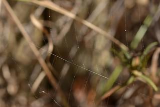 Trianglar web of a Cribellate Orb Weaver spider - Hyptiotes gertschi, Uloboridae