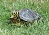 Yellow-bellied slider (Elvis M. Luksic) Tags: yellowbelliedslider žutouhakornjača turtle animal reptil nature grass