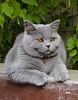 Milo the Poser (PSK pix) Tags: british shorthair short hair cat cats paul knipe pskpix pix psk fluffy kitten kittens cape town south africa blue