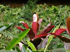 Wailua River State Park - Fern Grotto (21) (pensivelaw1) Tags: hawaii kauai wailuariverstatepark ferngrotto