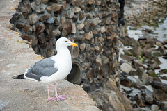 2017-AugSep-California-462 (4x4Foto) Tags: california loverspoint montereybay pacificgrove pacificocean aquarium beautiful beauty centralcoast cypress flowers nature plants redwoods rocks seagulls seals seaside sunset trees villages water virginia unitedstates