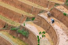 _J5K0823.0617.Khao Mang.Hồ Bốn.Mù Cang Chải.Yên Bái (hoanglongphoto) Tags: asia asian vietnam northvietnam northwestvietnam landscape scenery vietnamlandscape vietnamscenery terraces terracedfields transplantingseason sowingseeds hillside people landscapewithpeople canon canoneos1dsmarkiii hdr tâybắc yênbái mùcangchải khaomang phongcảnh ruộngbậcthang ruộngbậcthangmùcangchải mùacấy đổnước người phongcảnhcóngười sườnđồi mùcangchảimùacấy canonef70200mmf28lisiiusm ricceterracedinvietnam terracedfieldsinvietnam