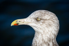 Portrait of a Herring Gull (tresed47) Tags: 2017 201711nov 20171129newjerseybirds barnegatlightsp birds canon7d content fall folder gull herringgull newjersey november peterscamera petersphotos places season takenby us