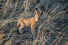 Kruger 2 (gsamie) Tags: 600d 80d canon guillaumesamie jackal krugernationalpark southafrica animals baby dawn game gsamie