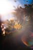 ILCE-7M2-05242-20171212-1544 // Nikon Nikkor 105mm 1:1.8 AI-S (Otattemita) Tags: 105mmf18 aislens florafauna nikkor nikon nikonnikkor105mmf18ais nipponkogaku portfolio fauna flora flower nature plant wildlife nikonnikkor105mm118ais sony sonyilce7m2 ilce7m2 105mm cnaturalbnatural ota