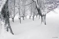 Desnudas hayas de porte altivo (Jabi Artaraz) Tags: jabiartaraz jartaraz hayas nieve winter frío nevada elurra negua gorbea egiriñao nature natura