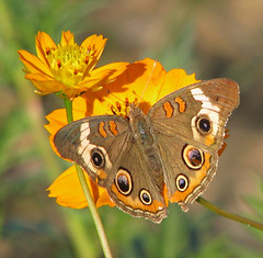 12 Days of Christmas Butterflies: #10 - a flame of fire (Vicki's Nature) Tags: commonbuckeye butterfly orange brown eyes spots circles wildflowers cosmos flowers blossoms etowahriverpark georgia vickisnature canon s5 2239 returnbigfave