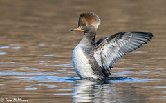 Mrs. Hooded Merganser (NorthShoreTina) Tags: hoodedmerganser merganser divingduck duck