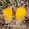 Echinocactus platyacanthus (SUBENUIX) Tags: cactaceae echinocactusplatyacanthus suculentas subenuix subenuixcom planta suculent suculenta botanic botanical