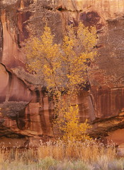 Autumn portrait (baro-nite) Tags: cottonwood fallcolor capitolreef utah mediumformat film fujifilm velvia rvp50 pentax 645n smcpentaxa645135150mm epsonv700 affinityphoto e6