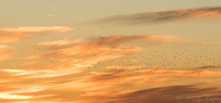 Sunset Starlings-2711
