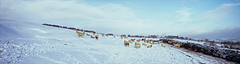 where's the nosh? (Ron Layters) Tags: sheep nograss snow winter hawkshursthead white whaleymoor cold drystonewall moor landscape blanketofsnow countryside peakdistrict vista whaleybridge derbyshire england unitedkingdom highpeak slidefilmthenscanned slide transparency fujichrome velvia pentax mz10 pentaxmz10 ronlayters