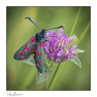 Burnet moth 5 Spot feeding on a thistle 2