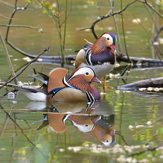 Drake Mandarins, Forest of Dean