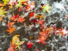 Mixed messages ... (peggyhr) Tags: peggyhr autumn snow leaves colourful vancouver bc canada sidewalk textures orange yelloe whitr black green carolinasfarmfriends