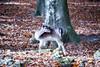 *** Damwild *** (*** Joe Wild ***) Tags: damwild wild reh kitz laub herbst autumn leaf