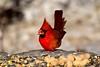 NUTCRACKER, CARDINAL, ACA PHOTO (alexanderrmarkovic) Tags: nutcracker cardinal acaphoto