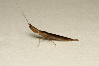 Mantodea, Tarachodes sp. (Bark Mantis) - South Africa