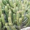 Myrtillocactus geometrizans-6 (SUBENUIX) Tags: cactaceae myrtillocactusgeometrizans suculentas subenuix subenuixcom planta suculent suculenta botanic botanical