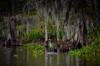 "Blue Heron on the swamp Bayou L'Ours - Kraemer LA (mbell1975) Tags: thibodaux louisiana unitedstates us blue heron swamp bayou lours kraemer la neworleans new orleans nola ""la nouvelleorléans"" nouvelleorléans nueva nuova water mississippi river waterway canal stream creek run blueheron bird wildlife crane spanishmoss"