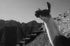 (Benoms) Tags: benoms nak peru llama inca machu pichu machupichu blancoynegro blackandwhite ruinas escalones documentary documental animal