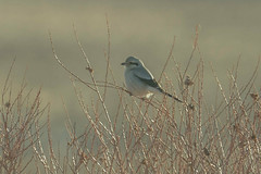Northern Shrike (Lanius borealis) (byjcb) Tags: shrike birds winnemucca nevada unitedstates us