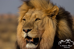 Namibischer Löwe (Fotofreak479) Tags: 24092017 löwe lion namibia kalahari safari tour afrika africa schönheit beautiful