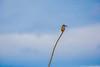 The common/Eurasian kingfisher  (Alcedo atthis). Kinabatangan River (Phalinn Ooi) Tags: sepilokorangutanrehabilitationcentre sunbear sepilok rainforestdiscoverycentre rainforest jungle wildlife sandakan kinabatangan river sukau bilit sabah borneo malaysia asia nature outdoor adventure safari holiday animal orangutan proboscis monkey silverleaf lutung langur crocodile snake monitorlizard boat labukbay myne resort canon eos dslr photography egret bird wanderlust travel family beautiful view love wife trekking macro flower insect tree forest 5dmarkiv beardedpig water cruise alam world scenery flora fauna megadiverse biodiversity landscape people sexy woman biology naturalist coutinho