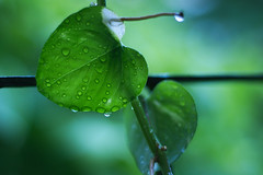 After the rain (vin-ravun) Tags: rain rainy monsoon summer green nature indoor home beautiful drops nikon d3100 chennai india