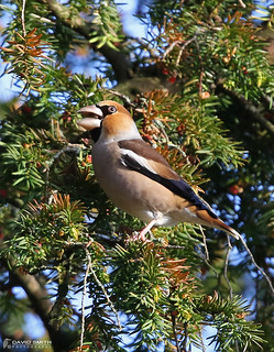 DSP01887 -  Hawfinch ♂ (Coccothraustes coccothraustes)
