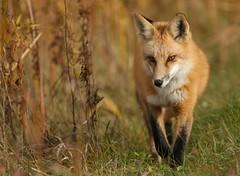 Foxy (Guy Lichter Photography - 3.9M views Thank you) Tags: canon 5d3 canada manitoba hecla heclaprovincialpark wildlife animals mammal mammals fox redfox