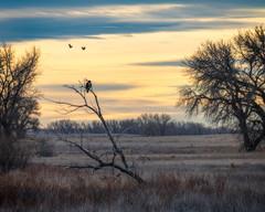 Prairie Watchman (droy0521) Tags: plains rockymountainarsenal sunrise baldeagle landscape winter wildlife birdsofprey bird colorado outdoors hawk animal eagle places prairie