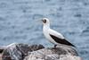 Nazca Booby 500_3397.jpg (Mobile Lynn) Tags: booby birds wild nazcabooby nature bird fauna sula sulagranti wildlife puntasuarezespanolaisland galapagosislands ecuador ec coth specanimal coth5 ngc npc
